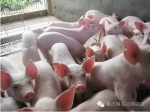 【分享】何种情况下给猪并圈,不用担心猪