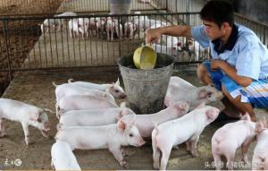 养猪中7个节省饲料的小妙招,你都知道吗