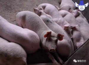如何保证猪的饮用水清洁安全?这些污染源必须要留意!