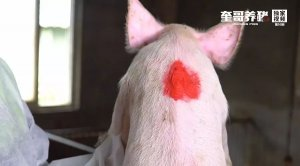 7种标记小妙招,让你轻松管理仔猪有效提高猪场生产成绩!