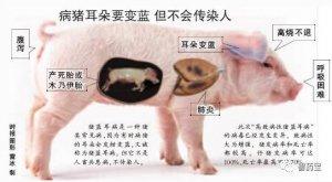猪友看过来,最全的猪蓝耳病知识,全是干货!