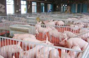 建立健康高产的母猪群需从哪些方面入手?