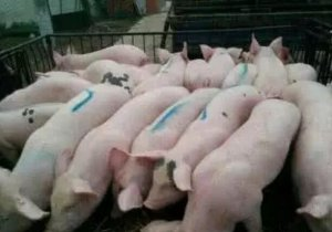 这些小技巧可助您挑选到更优良的仔猪!