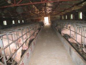 财产保全时不能杀不能卖 这猪要养到猴年马月?