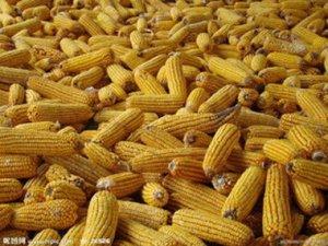 """是天气惹的祸,华北玉米价格飙涨之后现"""""""