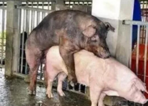 猪场繁育技术又创新!宫内输精技术,你听