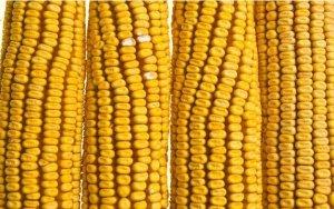 玉米行情:北方港口价格上涨