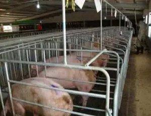 发现母猪发情迟缓,原因及其解决办法竟是这样?