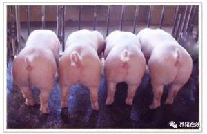 这样做,今年秋冬季猪就不再咳嗽了!