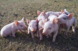仔猪从断奶到出栏,6个月长到290斤该怎么养?