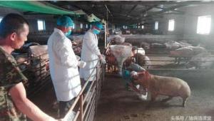 生猪也要大保健,兽医师告诉你猪群保健分哪三个层次!
