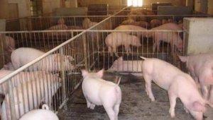 猪价已连跌数日,如何打个漂亮的价格翻身仗,全靠我们自己