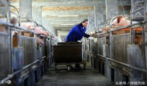 农民学养猪,养猪场的分娩床类型、材料及结构形式介绍