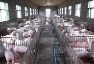 猪场常用水来降温,那该如何控制湿度呢?