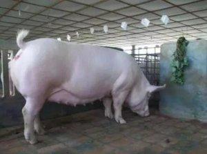 选留母猪一定要狠 母猪产仔多的办法