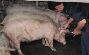 猪瘟和口蹄疫疫苗是同时免疫好?还是分开免疫好?