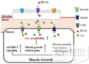 BACC平衡营养在生猪健康养殖研究获阶段性