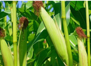 新粮上市价格回调 好消息不断新玉米价格