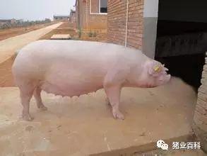 探讨母猪难产和产后不吃问题及解决方案