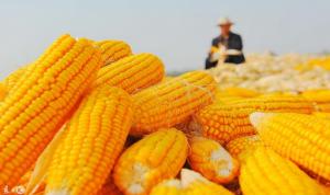 一个原因决定玉米价格连续上涨,会涨到养