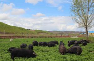 岳西黑猪成为安徽首个畜牧地标产品