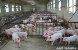 养猪人注意啦,七个方法给你的猪场除臭
