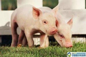 创办猪场很简单?事实是养猪人很不易!