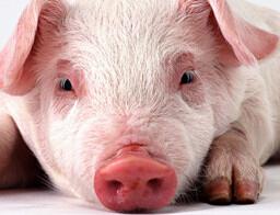 """35个养猪业的""""新概念"""
