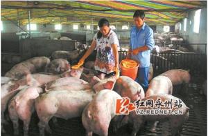 """零陵水口山镇""""南瓜猪""""抢手 已�缋干�猪3"""