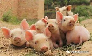 秋季猪群容易出现咳嗽气喘,养殖户要重点防范