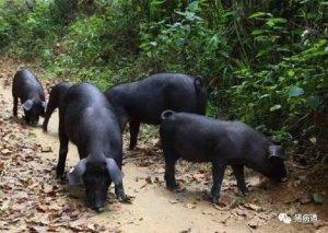 夏秋季两种常发细菌性猪病的防控建议!