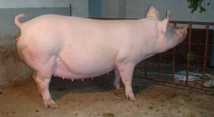 如何让空怀母猪提前发情排卵?