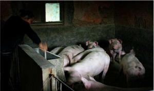 农村养猪人请注意:没在禁养区,不意味着可以随便养猪!