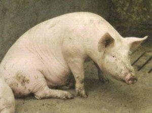 疾病对猪只肺部的影响,你平时是否注意到了?