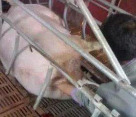 给母猪助产就是把手伸进去,把猪掏出来那么简单?