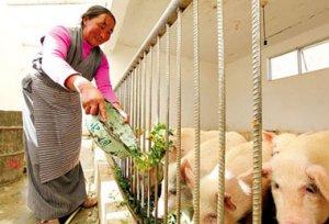 畜禽用药应考虑饲料的拮抗作用