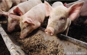 想要提高猪的食量,从这两方面入手就对了