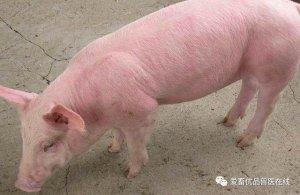 猪只秋季易发生流行性感冒,养殖户千万不要忽视