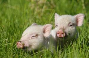 那年花开月正圆,中秋卖猪正当时