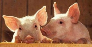 猪脐带血利用好,仔猪断奶多长一斤很轻松