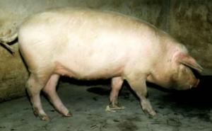 秋防已至,猪场请慎重选择口蹄疫疫苗