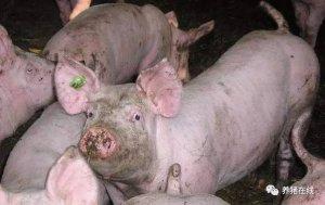母猪发出的求救信号,一般的养殖户却忽视