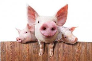 仔猪补铁有技巧!耳后还是猪腿内侧?