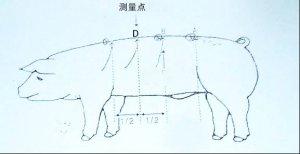 挑选后备母猪有10看(多图详解),建议收藏