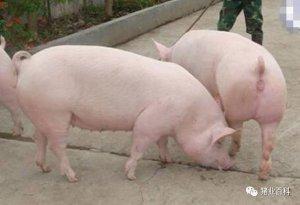 如何让空怀母猪提前发情排卵配种?