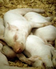 猪场中遇到猪瘟超免需