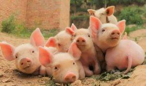 小小改变给猪场带来巨大利润,看国外养猪生产商获利妙法