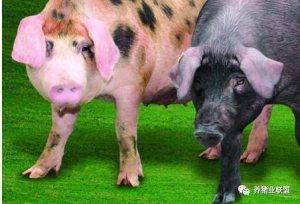 猪价低饲料贵 以后养猪怎么养?