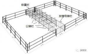 解伟涛|后备母猪舍设计和管理的关键点