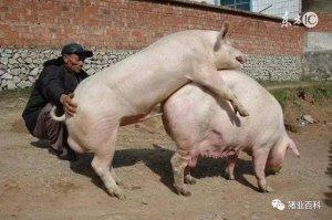 种公猪性能,如何能得到保证???